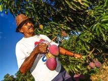 Agricoltore sul frutteto del mango Immagini Stock