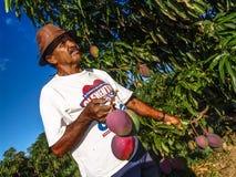 Agricoltore sul frutteto del mango Fotografia Stock Libera da Diritti