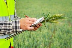 Agricoltore sul giacimento di cereale nel giorno ventoso Fotografie Stock Libere da Diritti