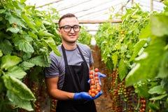 Agricoltore sul lavoro con i pomodori ciliegia in serra Immagine Stock