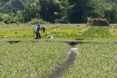 Agricoltore sul lavoro in un giacimento del riso Fotografie Stock Libere da Diritti