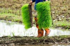 Agricoltore sull'azienda agricola del riso Fotografia Stock