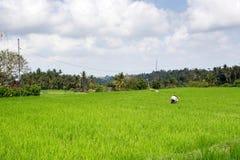 Agricoltore sull'azienda agricola del riso Fotografia Stock Libera da Diritti