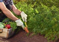 Agricoltore sull'azienda agricola organica sostenibile locale Immagini Stock Libere da Diritti
