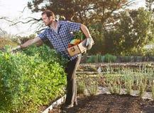 Agricoltore sull'azienda agricola organica sostenibile locale Immagine Stock