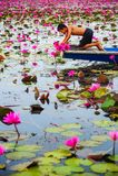 Agricoltore sulla barca blu che raccoglie loto rosa beuatiful Immagini Stock Libere da Diritti