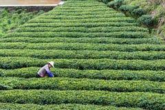 Agricoltore sulla piantagione di tè nel villaggio di Chengyang Fotografia Stock