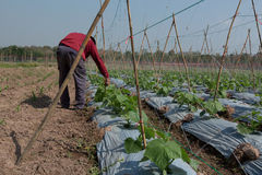 Agricoltore in suo cetriolo dell'azienda agricola Fotografia Stock Libera da Diritti