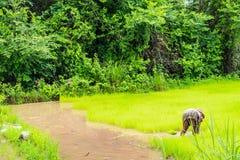 Agricoltore tailandese che lavora al giacimento del riso in backgrou del paesaggio della Tailandia Immagine Stock