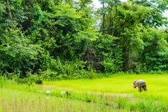 Agricoltore tailandese che lavora al giacimento del riso in backgrou del paesaggio della Tailandia Fotografia Stock Libera da Diritti