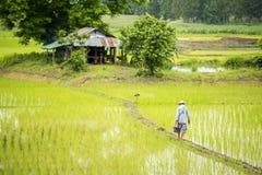 Agricoltore tailandese che lavora nel giacimento del riso Immagine Stock