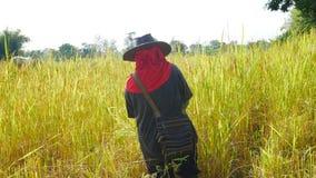 Agricoltore tailandese che lavora in riso archivato Fotografia Stock