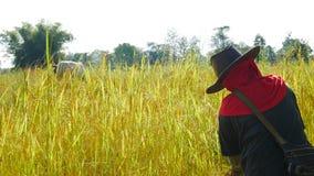 Agricoltore tailandese che lavora in riso archivato Immagini Stock