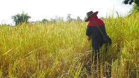 Agricoltore tailandese che lavora in riso archivato Immagine Stock Libera da Diritti