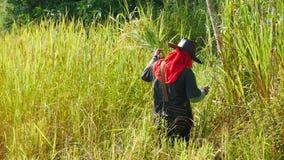 Agricoltore tailandese che lavora in riso archivato Fotografie Stock Libere da Diritti