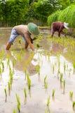 Agricoltore tailandese che pianta giovane risaia Fotografia Stock