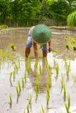 Agricoltore tailandese che pianta giovane risaia Immagine Stock Libera da Diritti