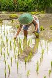 Agricoltore tailandese che pianta giovane risaia Fotografie Stock Libere da Diritti