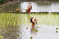 Agricoltore tailandese che pianta riso Fotografia Stock Libera da Diritti