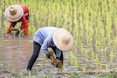 Agricoltore tailandese che pianta riso Fotografia Stock