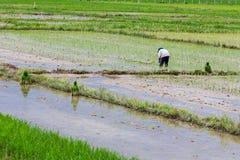 Agricoltore tailandese che pianta sul giacimento del riso Fotografia Stock Libera da Diritti