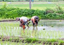 Agricoltore tailandese che pianta sul giacimento del riso Immagine Stock Libera da Diritti