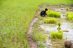 Agricoltore tailandese che pianta sul risone Immagini Stock Libere da Diritti