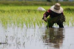 Agricoltore tailandese che pianta sul terreno coltivabile del risone Immagini Stock Libere da Diritti