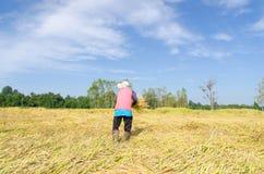 Agricoltore tailandese che raccoglie il campo dell'azienda agricola del riso del riso Fotografia Stock