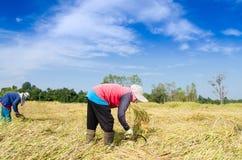 Agricoltore tailandese che raccoglie il campo dell'azienda agricola del riso del riso Immagini Stock Libere da Diritti