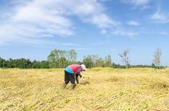 Agricoltore tailandese che raccoglie il campo dell'azienda agricola del riso del riso Fotografia Stock Libera da Diritti