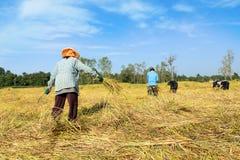 Agricoltore tailandese che raccoglie il riso nel giacimento del riso Immagini Stock