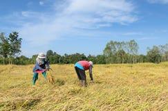 Agricoltore tailandese che raccoglie riso nel giacimento del riso Immagini Stock Libere da Diritti