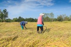 Agricoltore tailandese che raccoglie riso nel giacimento del riso Fotografie Stock
