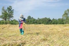 Agricoltore tailandese che raccoglie riso nel giacimento del riso Fotografia Stock Libera da Diritti