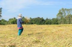 Agricoltore tailandese che raccoglie riso nel giacimento del riso Fotografia Stock