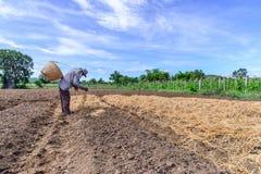 Agricoltore tailandese che ricopre piantagione di pacciame con paglia nel giorno del cielo blu Fotografia Stock