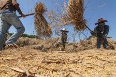 Agricoltore tailandese che trebbia battendo riso per separare seme Immagine Stock Libera da Diritti