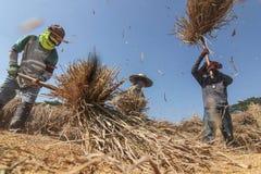 Agricoltore tailandese che trebbia battendo riso per separare seme Immagini Stock Libere da Diritti