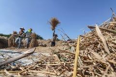 Agricoltore tailandese che trebbia battendo riso per separare seme Fotografie Stock Libere da Diritti