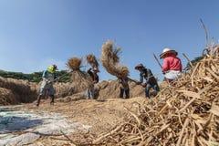 Agricoltore tailandese che trebbia battendo riso per separare seme Fotografie Stock