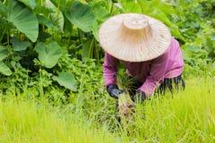 Agricoltore tailandese con il cappello tradizionale che lavora al giacimento del riso Immagini Stock Libere da Diritti