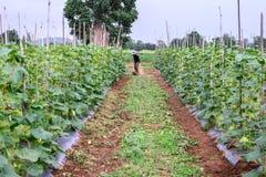 Agricoltore tailandese nella sarchiatura nera della camicia nella piantagione del melone Fotografia Stock Libera da Diritti