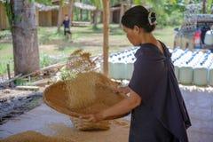 Agricoltore tailandese tradizionale con la preparazione del riso prima della cottura Immagine Stock Libera da Diritti