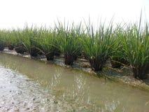 Agricoltore Thailand del riso Fotografia Stock