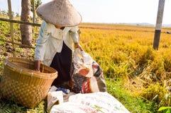 Agricoltore tradizionale che raccoglie risaia Immagini Stock