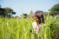 Agricoltore tradizionale del Myanmar che lavora nel campo Immagini Stock