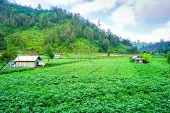 Agricoltore tradizionale di potatos fotografie stock libere da diritti