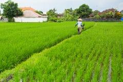 Agricoltore in un giacimento del riso, Indonesia agricoltura Immagini Stock Libere da Diritti