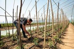 Agricoltore in una serra Fotografia Stock